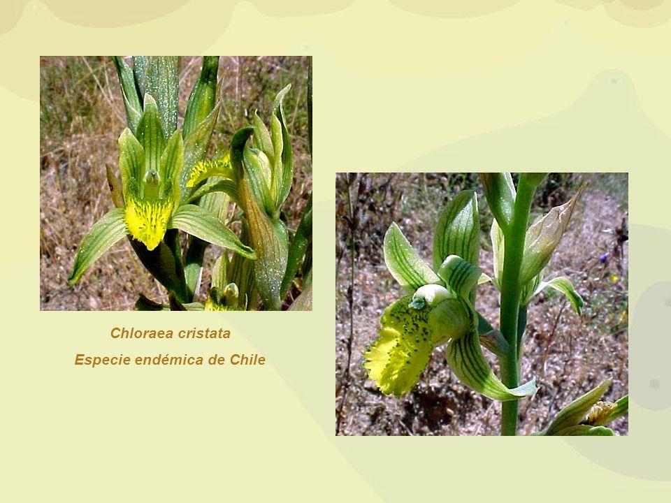 Chloraea cristata Especie endémica de Chile