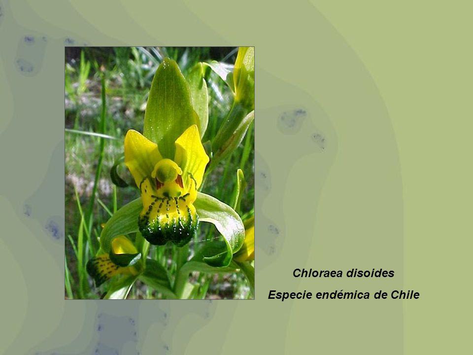 Chloraea disoides Especie endémica de Chile