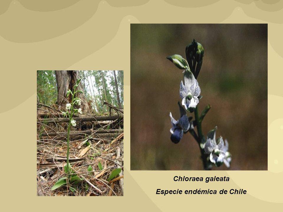 Chloraea galeata Especie endémica de Chile