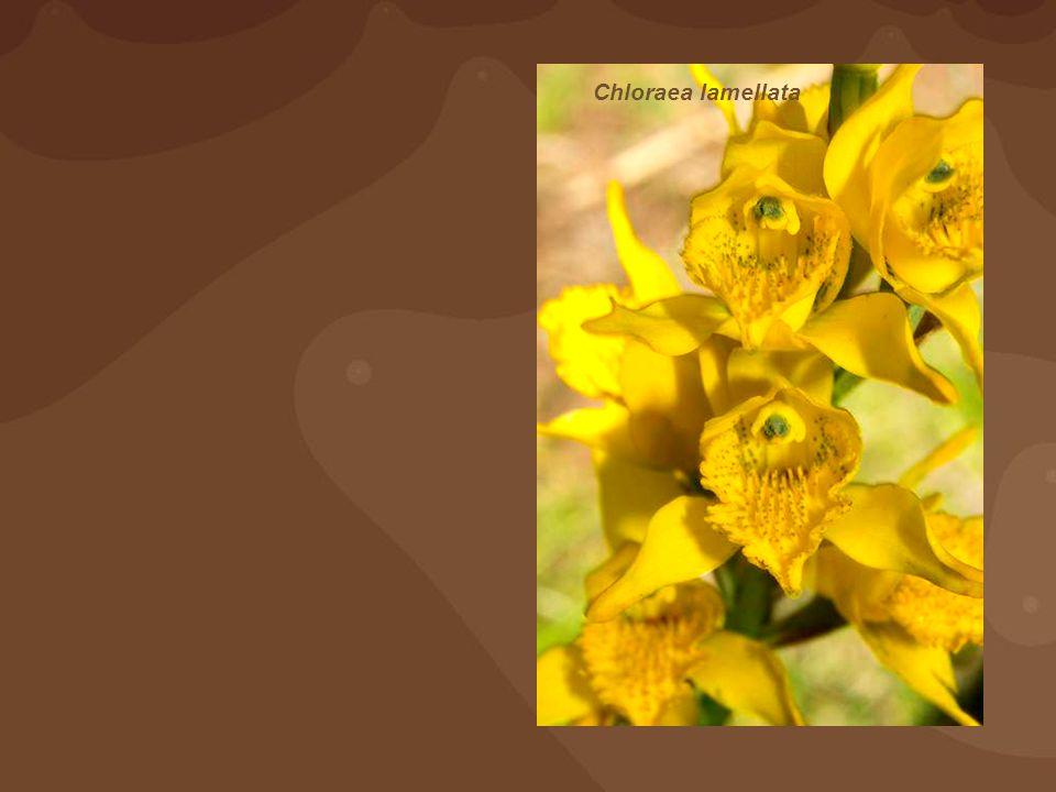 Chloraea lamellata