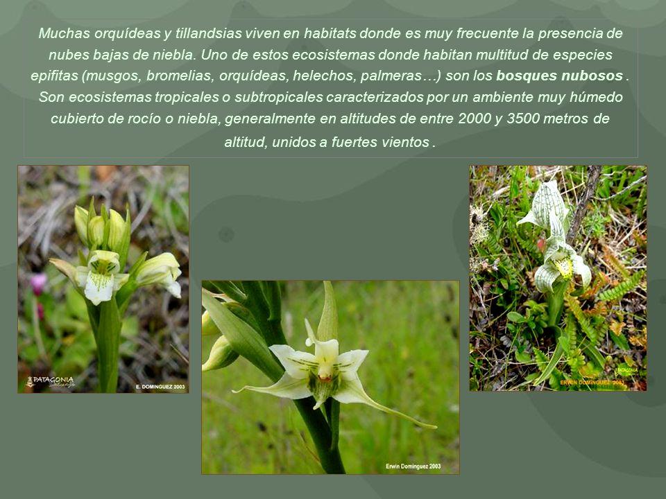 Muchas orquídeas y tillandsias viven en habitats donde es muy frecuente la presencia de nubes bajas de niebla. Uno de estos ecosistemas donde habitan