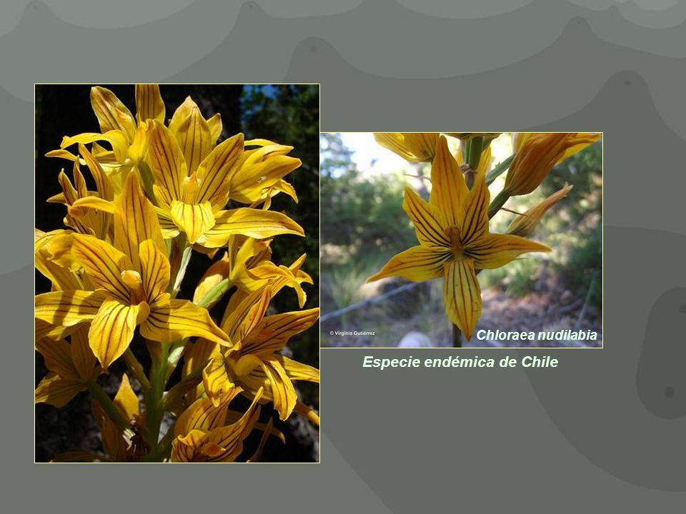 Chloraea nudilabia Especie endémica de Chile