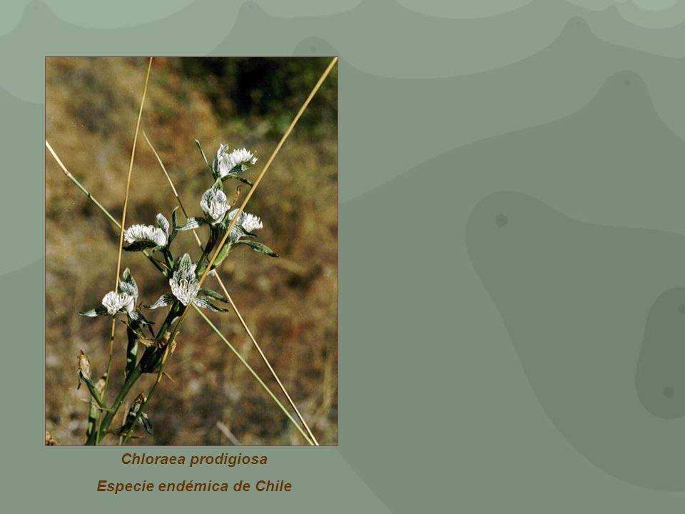 Chloraea prodigiosa Especie endémica de Chile
