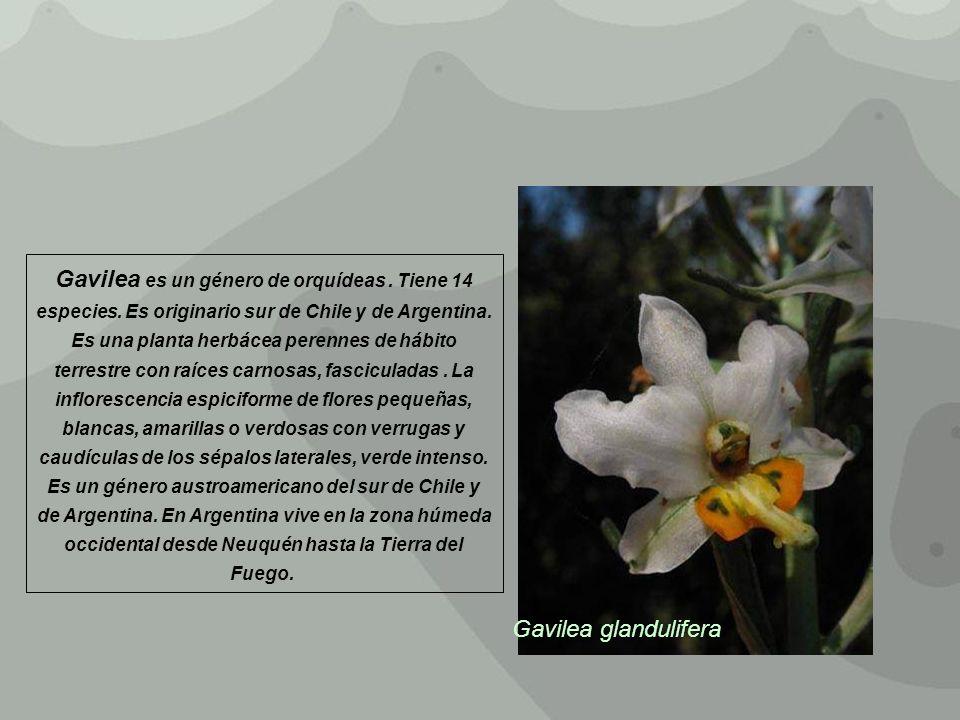 Gavilea glandulifera Gavilea es un género de orquídeas. Tiene 14 especies. Es originario sur de Chile y de Argentina. Es una planta herbácea perennes