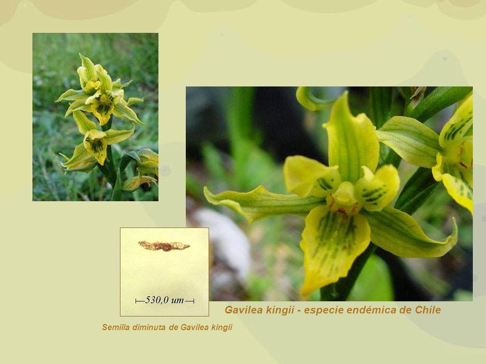 Gavilea kingii - especie endémica de Chile Semilla diminuta de Gavilea kingii