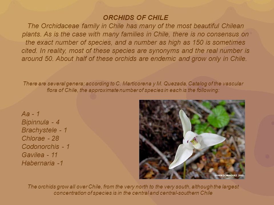 The distinctive characteristics of the Chilean orchids is that unlike their tropical counterparts they all are geophytes, are very hardy both in terms of temperature resistance and water and soil requirements.