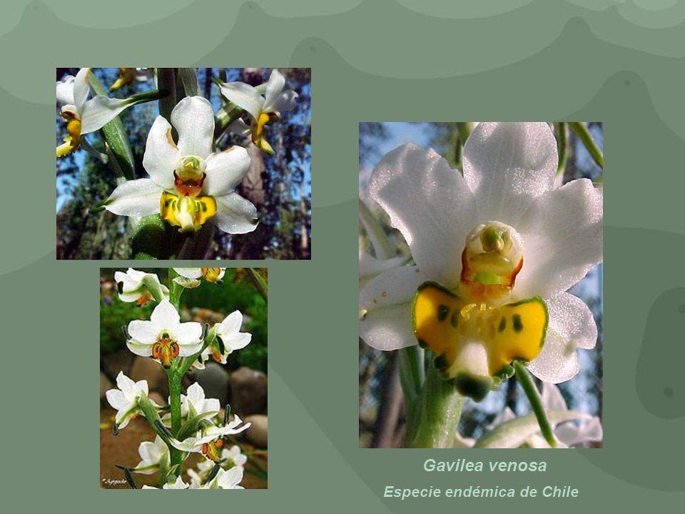Gavilea venosa Especie endémica de Chile