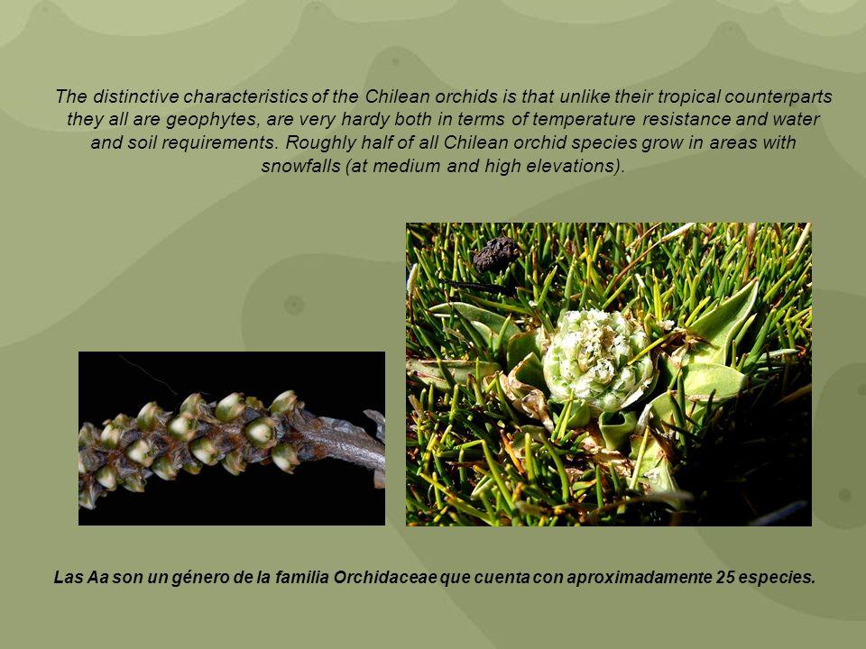 Las Aa son un género de la familia Orchidaceae que cuenta con aproximadamente 25 especies. The distinctive characteristics of the Chilean orchids is t