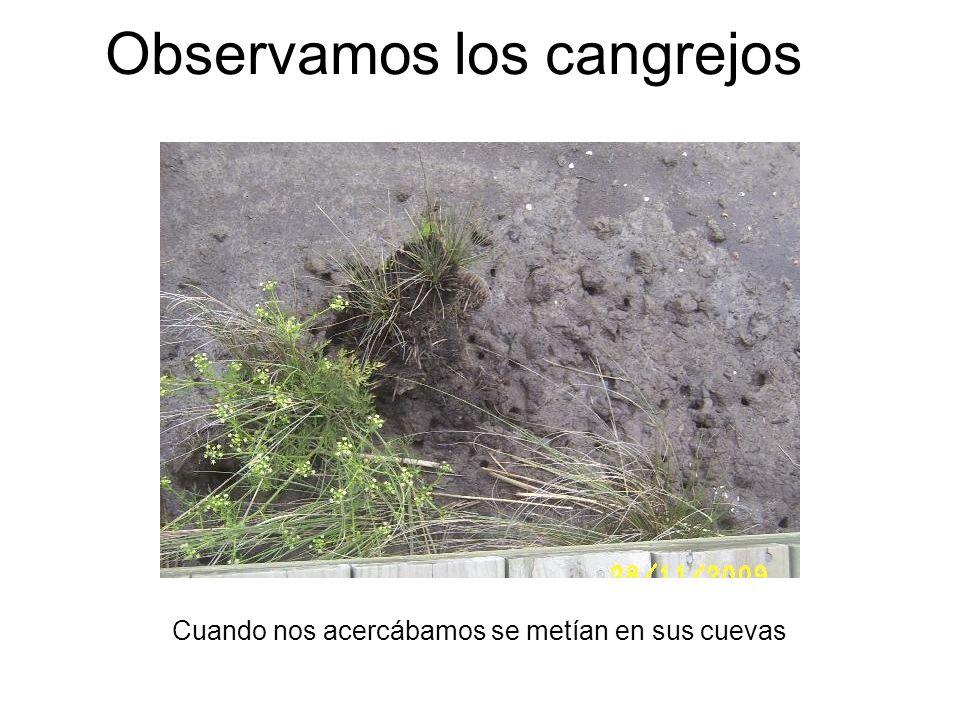 Observamos los cangrejos Cuando nos acercábamos se metían en sus cuevas