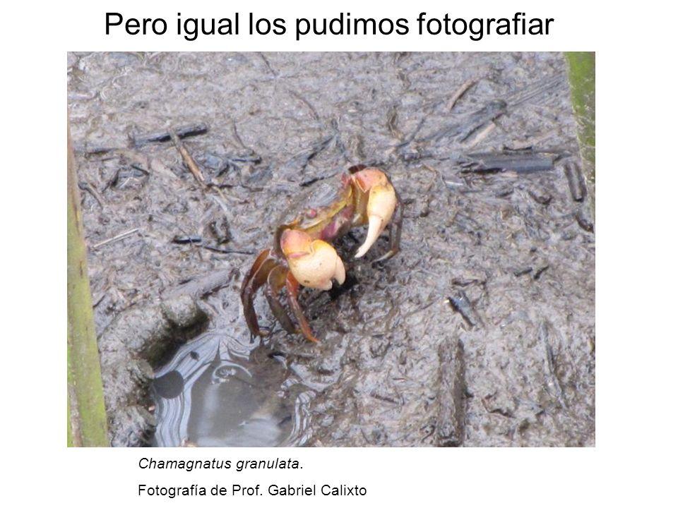 Pero igual los pudimos fotografiar Chamagnatus granulata. Fotografía de Prof. Gabriel Calixto