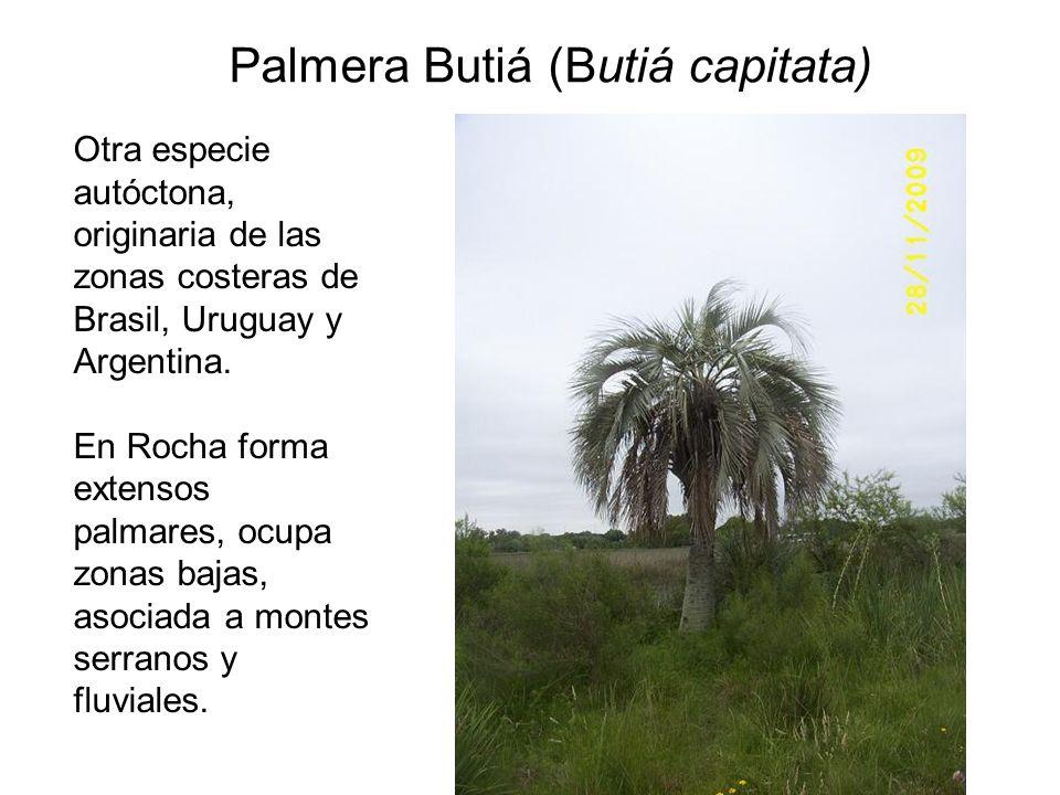 Palmera Butiá (Butiá capitata) Otra especie autóctona, originaria de las zonas costeras de Brasil, Uruguay y Argentina. En Rocha forma extensos palmar