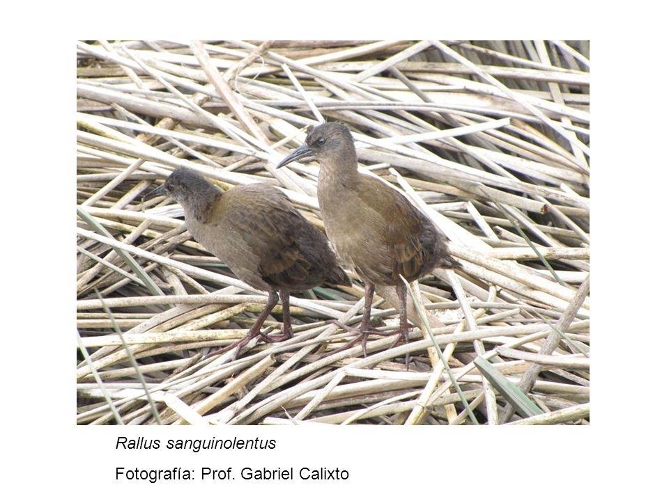 Rallus sanguinolentus Fotografía: Prof. Gabriel Calixto