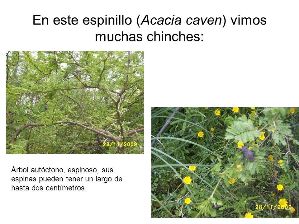 En este espinillo (Acacia caven) vimos muchas chinches: Árbol autóctono, espinoso, sus espinas pueden tener un largo de hasta dos centímetros.
