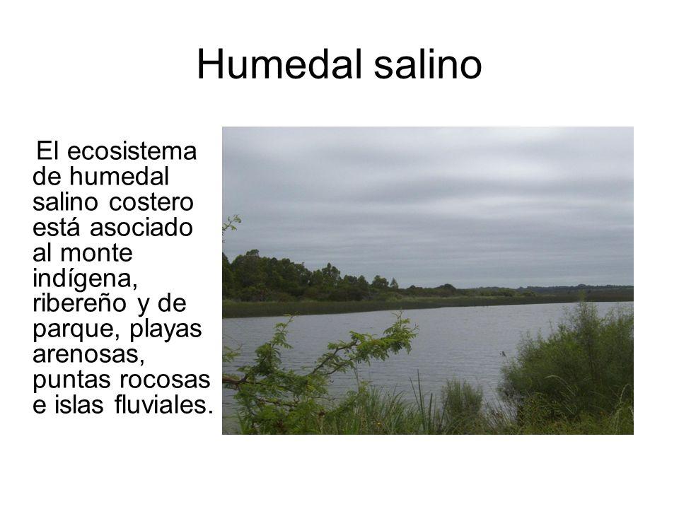 Humedal salino El ecosistema de humedal salino costero está asociado al monte indígena, ribereño y de parque, playas arenosas, puntas rocosas e islas