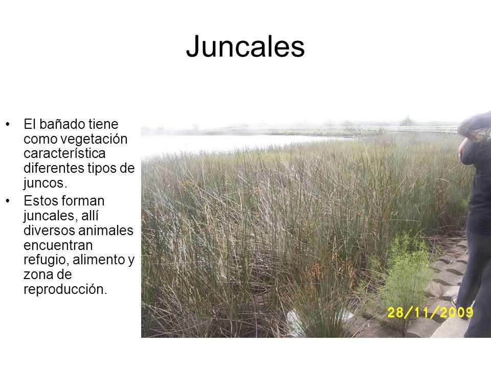 Juncales El bañado tiene como vegetación característica diferentes tipos de juncos. Estos forman juncales, allí diversos animales encuentran refugio,