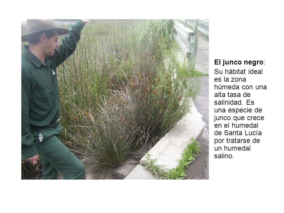Cola de zorro: Planta que crece en la periferia de los bañados, es originaria del sur de América del Sur.