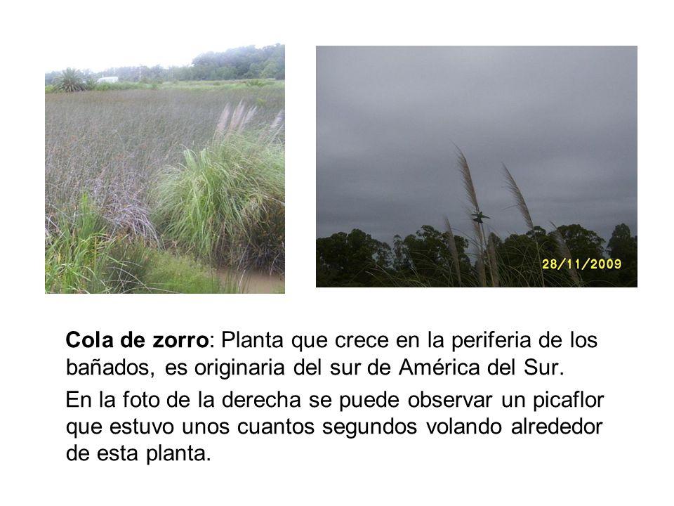 Cola de zorro: Planta que crece en la periferia de los bañados, es originaria del sur de América del Sur. En la foto de la derecha se puede observar u