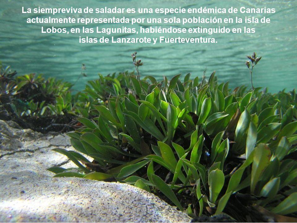 Siempreviva de saladar Limonium bollei Una joya vegetal que vive a caballo entre el mundo terrestre y el marino,