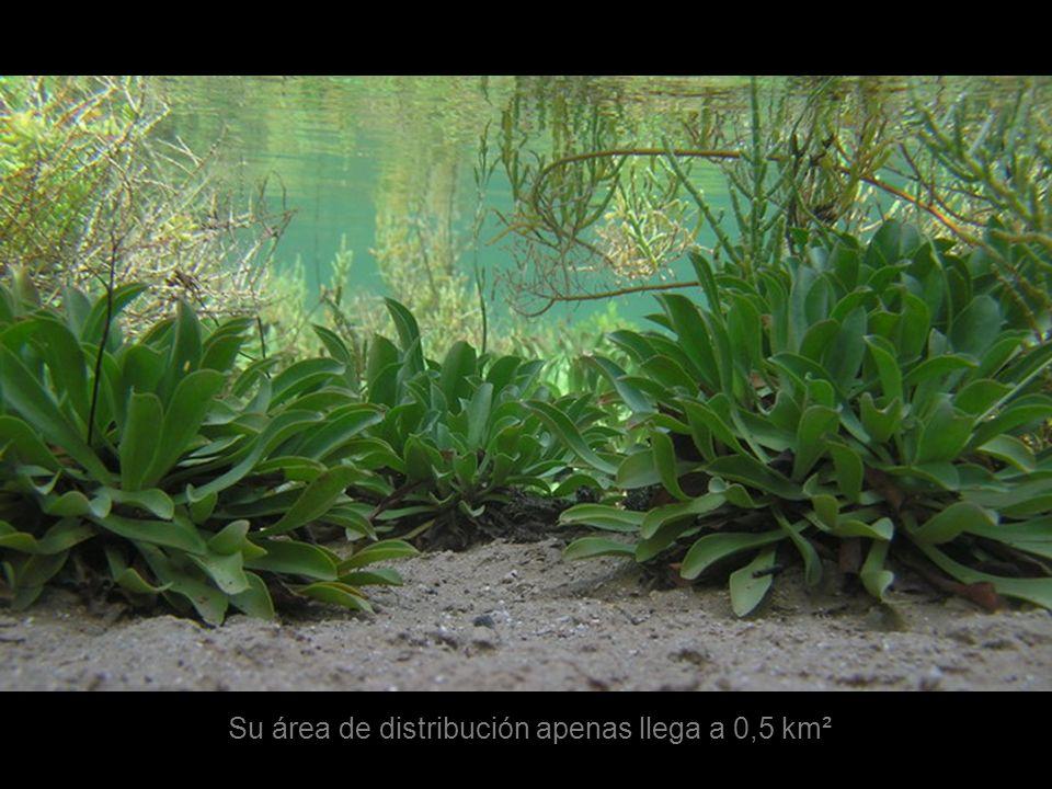 La siempreviva de saladar es una especie endémica de Canarias actualmente representada por una sola población en la isla de Lobos, en las Lagunitas, habiéndose extinguido en las islas de Lanzarote y Fuerteventura.