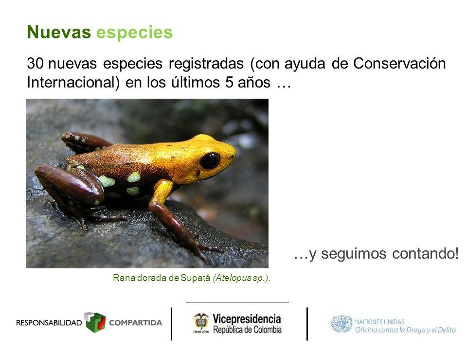 30 nuevas especies registradas (con ayuda de Conservación Internacional) en los últimos 5 años … …y seguimos contando! Rana dorada de Supatá (Atelopus