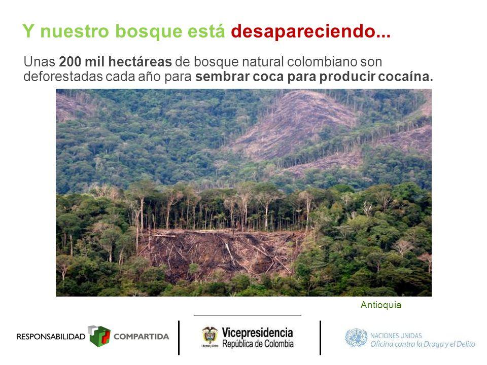 Y nuestro bosque está desapareciendo... Unas 200 mil hectáreas de bosque natural colombiano son deforestadas cada año para sembrar coca para producir