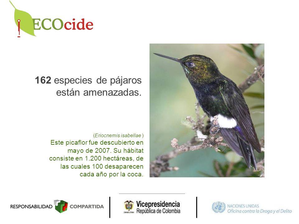 162 especies de pájaros están amenazadas. (Eriocnemis isabellae ) Este picaflor fue descubierto en mayo de 2007. Su hábitat consiste en 1.200 hectárea