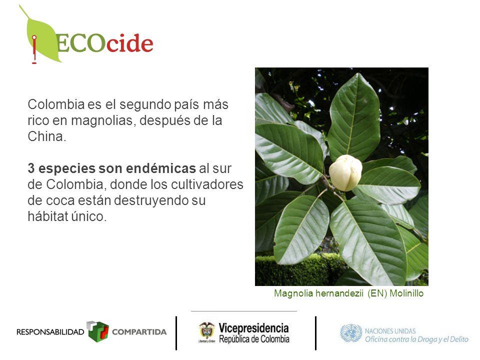 Colombia es el segundo país más rico en magnolias, después de la China. 3 especies son endémicas al sur de Colombia, donde los cultivadores de coca es