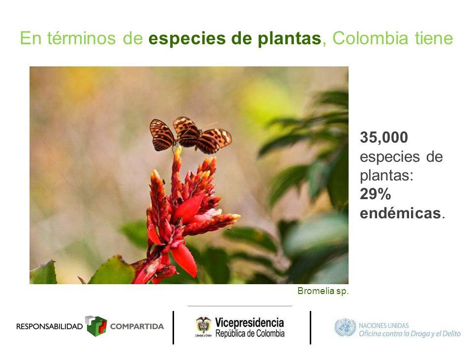 En términos de especies de plantas, Colombia tiene 35,000 especies de plantas: 29% endémicas. Bromelia sp.