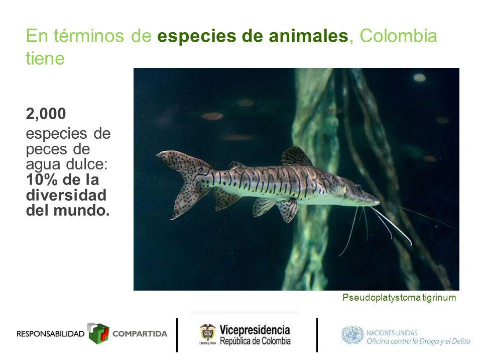 2,000 especies de peces de agua dulce: 10% de la diversidad del mundo. Pseudoplatystoma tigrinum En términos de especies de animales, Colombia tiene
