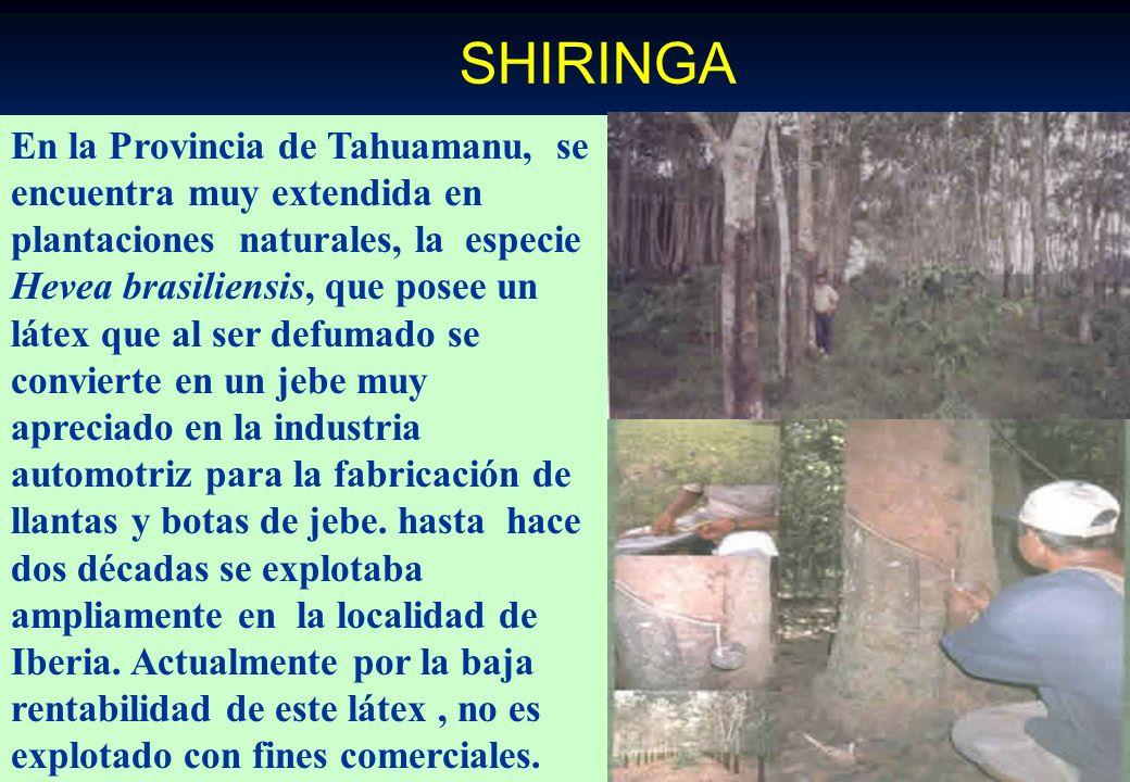 CASTAÑA O NUEZ DEL BRASIL. En las provincias de Tambopata y Tahuamanu existen aproximadamente 1,800,000 ha. de zonas castañeras, (477,040 árboles de p