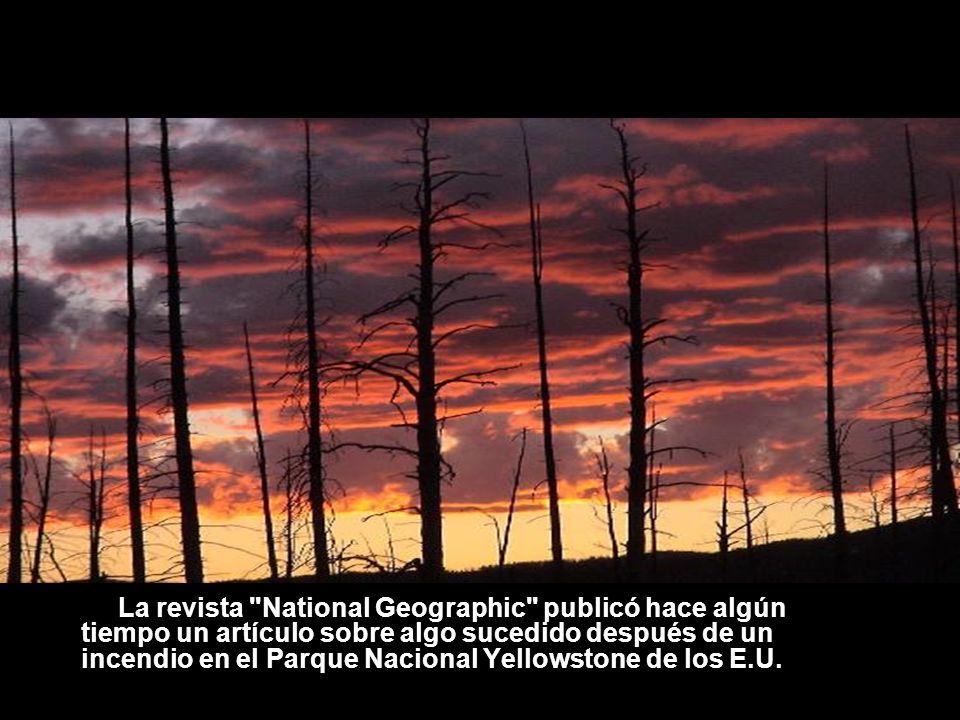 La revista National Geographic publicó hace algún tiempo un artículo sobre algo sucedido después de un incendio en el Parque Nacional Yellowstone de los E.U.