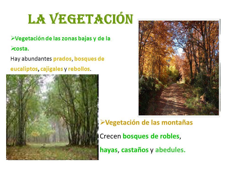 La vegetación Vegetación de las zonas bajas y de la costa. Hay abundantes prados, bosques de eucaliptos, cajigales y rebollos. Vegetación de las monta