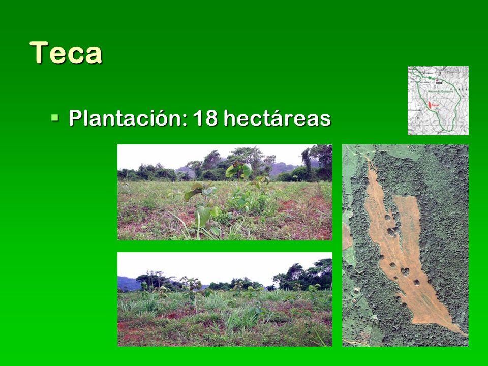 Teca Plantación: 18 hectáreas Plantación: 18 hectáreas