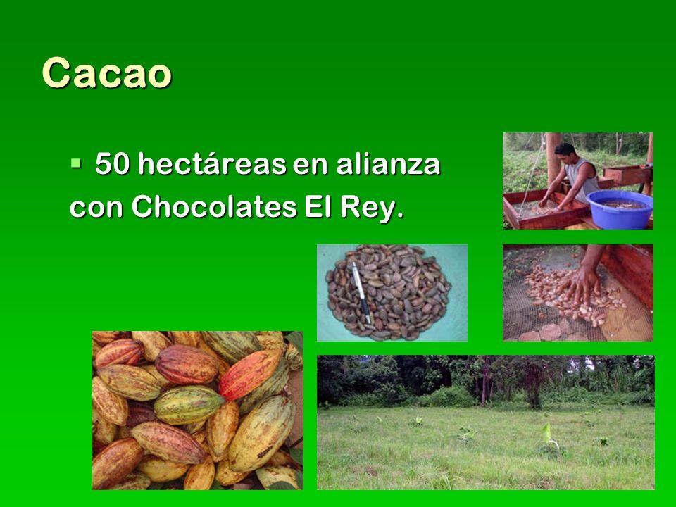 Cacao 50 hectáreas en alianza 50 hectáreas en alianza con Chocolates El Rey.
