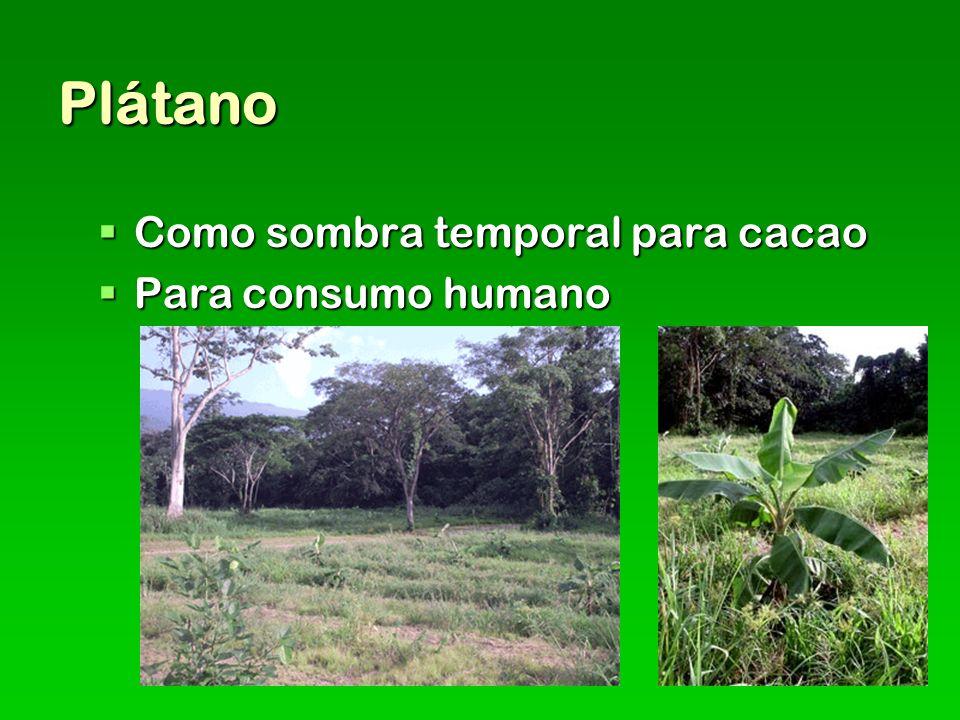 Plátano Como sombra temporal para cacao Como sombra temporal para cacao Para consumo humano Para consumo humano