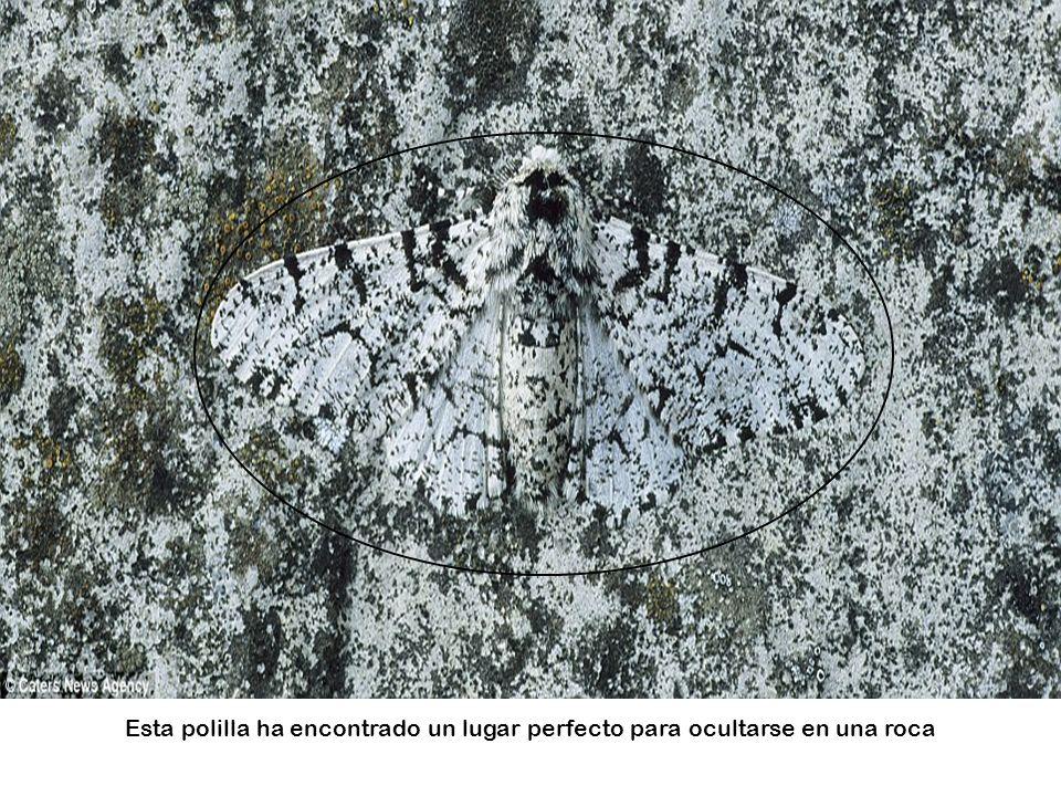 ¿Puede detectarlo? Un leopardo de la nieve espera a su presa en el Himalaya