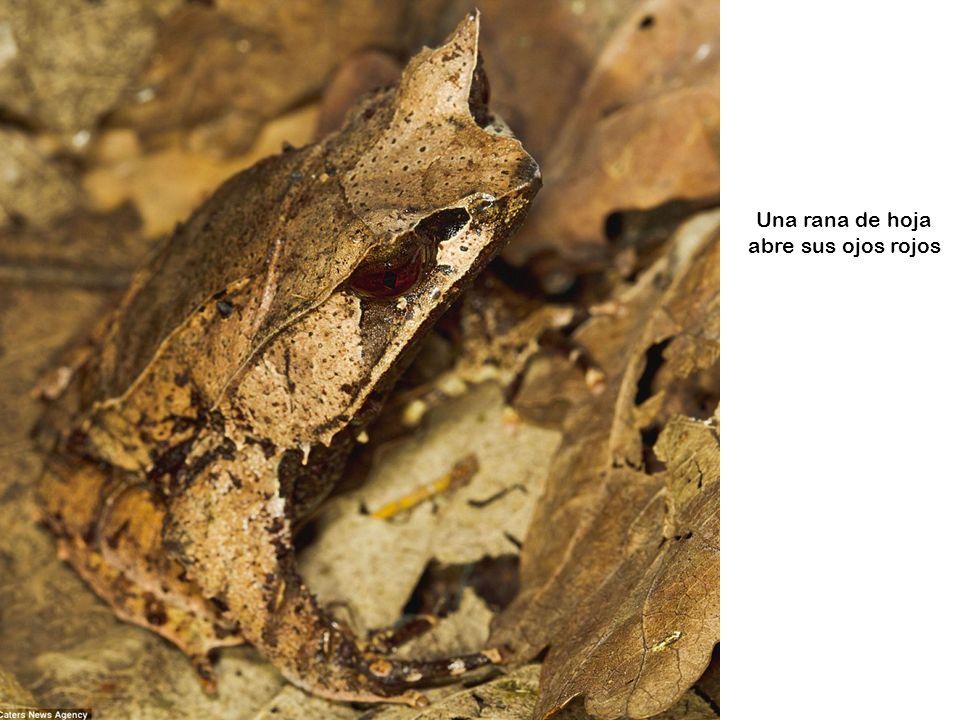 Un Katydid se combina con el follaje en Costa Rica