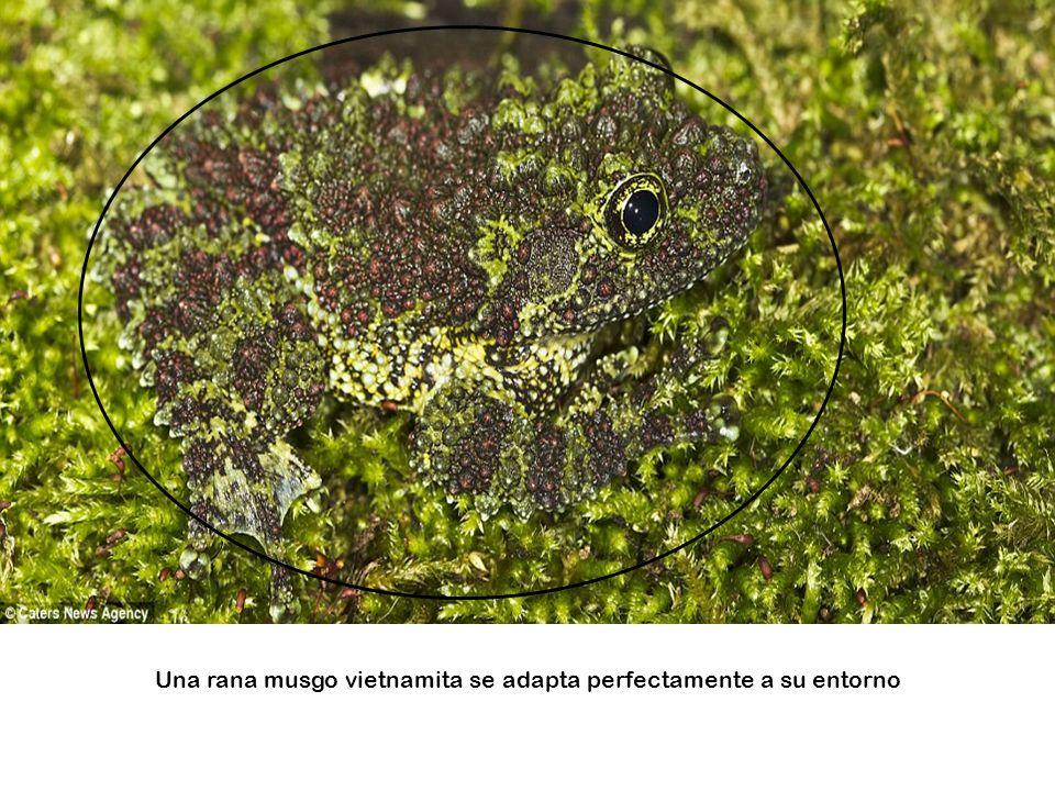 Una rana de hoja abre sus ojos rojos