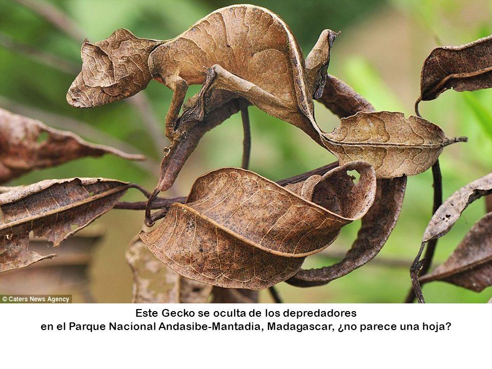 Este Gecko se oculta de los depredadores en el Parque Nacional Andasibe-Mantadia, Madagascar, ¿no parece una hoja?