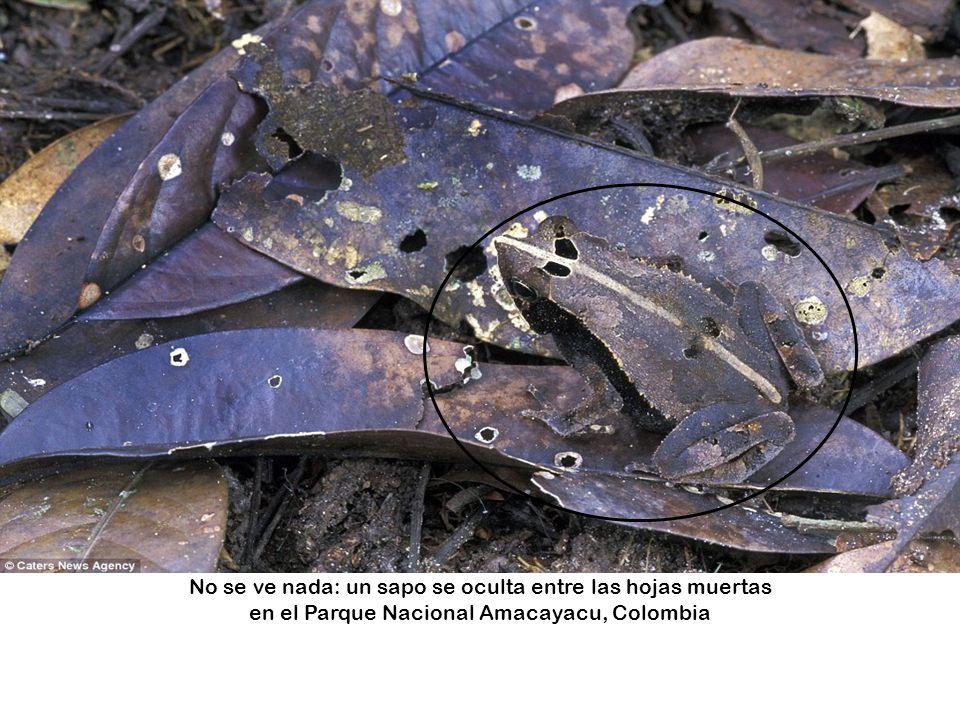 No se ve nada: un sapo se oculta entre las hojas muertas en el Parque Nacional Amacayacu, Colombia