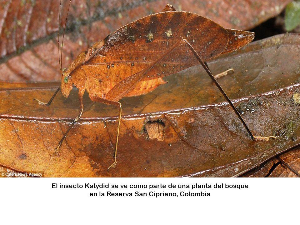 El insecto Katydid se ve como parte de una planta del bosque en la Reserva San Cipriano, Colombia