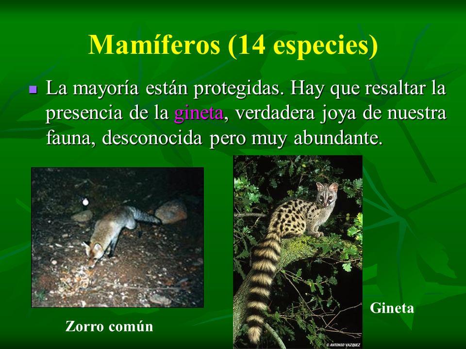 Mamíferos (14 especies) La mayoría están protegidas. Hay que resaltar la presencia de la gineta, verdadera joya de nuestra fauna, desconocida pero muy