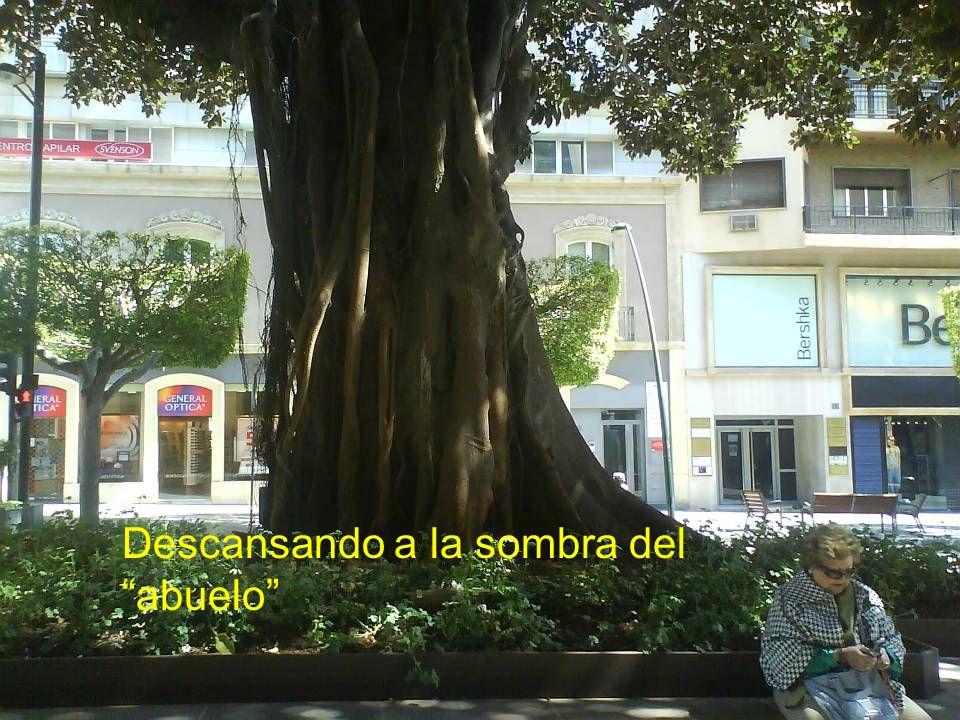 El abuelo ; Ficus centenario en el Paseo de Almería