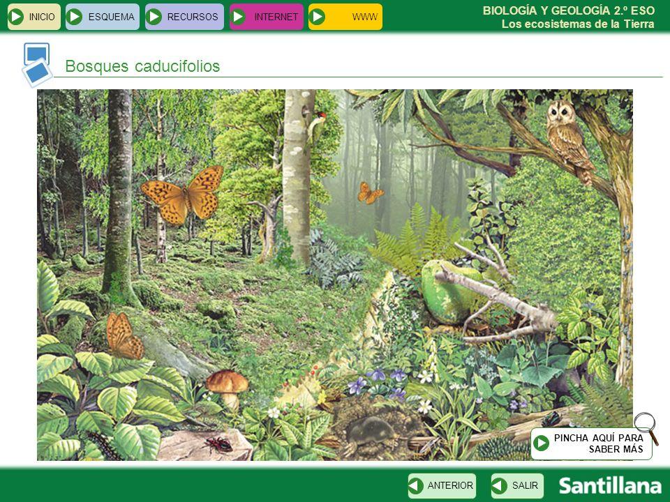 BIOLOGÍA Y GEOLOGÍA 2.º ESO Los ecosistemas de la Tierra INICIOESQUEMARECURSOSINTERNET SALIRANTERIOR Bosques caducifolios PINCHA AQUÍ PARA SABER MÁS W