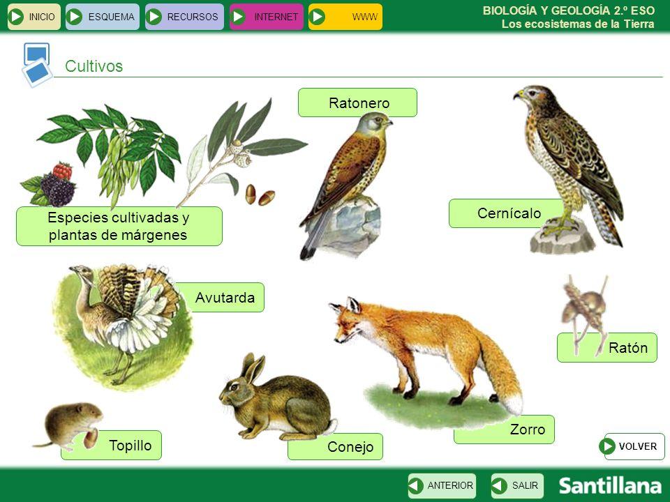 BIOLOGÍA Y GEOLOGÍA 2.º ESO Los ecosistemas de la Tierra Ratón Cernícalo Zorro Topillo Especies cultivadas y plantas de márgenes INICIOESQUEMARECURSOS