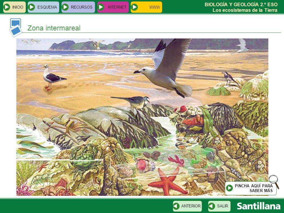 BIOLOGÍA Y GEOLOGÍA 2.º ESO Los ecosistemas de la Tierra INICIOESQUEMARECURSOSINTERNET Zona intermareal SALIRANTERIOR PINCHA AQUÍ PARA SABER MÁS WWW