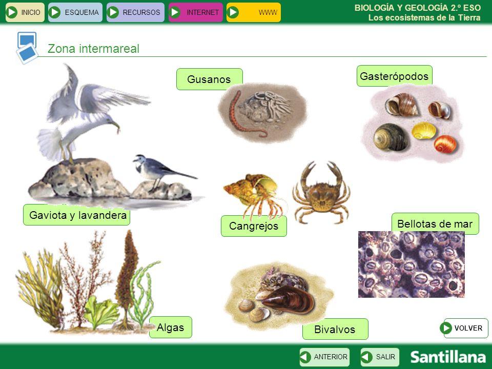 BIOLOGÍA Y GEOLOGÍA 2.º ESO Los ecosistemas de la Tierra Bellotas de mar Cangrejos Gasterópodos Gusanos Bivalvos Algas Gaviota y lavandera INICIOESQUE