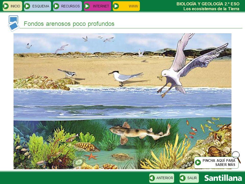 BIOLOGÍA Y GEOLOGÍA 2.º ESO Los ecosistemas de la Tierra INICIOESQUEMARECURSOSINTERNET Fondos arenosos poco profundos SALIRANTERIOR PINCHA AQUÍ PARA S