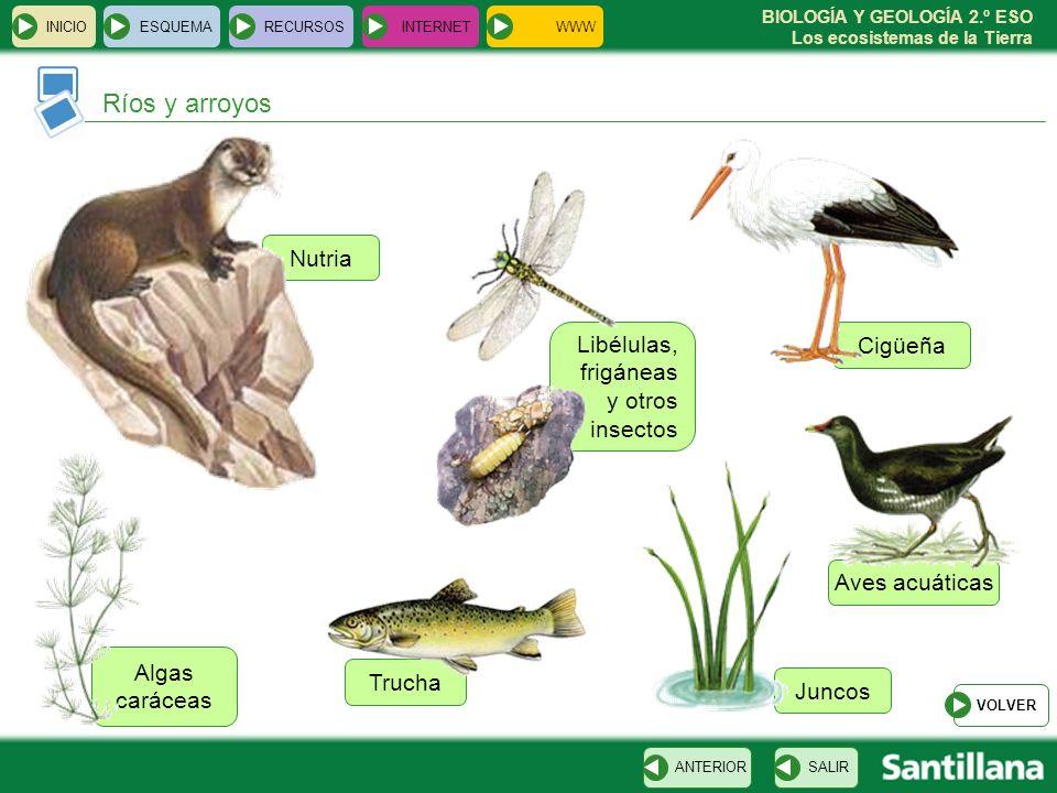 BIOLOGÍA Y GEOLOGÍA 2.º ESO Los ecosistemas de la Tierra Aves acuáticas Nutria Libélulas, frigáneas y otros insectos Juncos Cigüeña Algas caráceas Tru