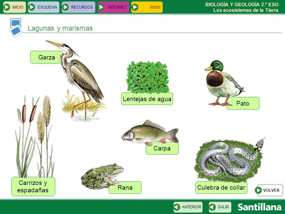 BIOLOGÍA Y GEOLOGÍA 2.º ESO Los ecosistemas de la Tierra Culebra de collar Lentejas de agua Carrizos y espadañas Garza Pato Rana Carpa INICIOESQUEMARE